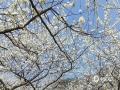 中国天气网广西站讯 又是一年春来到,广西各地百花开。图为20日通讯员在河池市南丹县莲花村落花坪拍摄到的梨花。(图/徐艺红 文/韦小芬 赵祖华)
