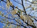 中国天气网广西站讯 又是一年春来到,广西各地百花开。图为17日通讯员在桂林市全州县拍摄到的梨花。(图/赵祖华 文/韦小芬 赵祖华)