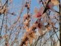 中国天气网广西站讯 又是一年春来到,广西各地百花开。图为23日通讯员在桂林市全州县拍摄到的桃花。(图/赵祖华 文/韦小芬 赵祖华)