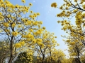 中国天气网广西站讯 近日,柳州大街小巷的黄花风铃木绚烂盛放。据悉今年柳州2月上旬、中旬的气温都比历年同期偏高,往年黄花风铃木一般是3月中下旬开花,而今年黄花风铃木提前就绽放了。一簇簇、一排排黄花风铃木簇满枝头,非常耀眼。(图/潘思宇 李宜爽   文/李宜爽)