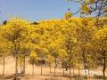 中国天气网广西站讯 近日南宁青秀山公园的风铃花开了!一串串硕大的花穗相互簇拥,如同一缕缕金黄花火,璀璨夺目。(图文/蒙菲菲)