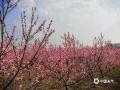 2月23日,明媚的阳光将富川县石家乡石枧村的二十亩桃花映衬得格外鲜艳,连蝴蝶都忍不住来攫取阵阵芬芳,蓝天、花朵、彩蝶绘成了一幅绝美的春日画卷。(文/吴蒨茵 图/林立春)