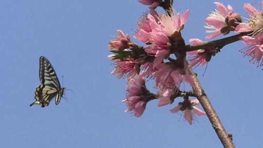 富川暖春桃花开放引蝶来