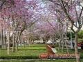 3月2日上午,南宁市出现了短暂的晴朗天气,温暖的春光普照大地,一扫持续数日的阴雨绵绵。秋月路两侧、五象总部基地休闲公园、金湖广场等区域,盛开的洋紫荆遇到了灿烂的阳光,变得粉嫩多彩。此番美景,让路过的市民留步欣赏,更有市民特意前往观花,为三月伊始留下美好期盼。(图文/邹财麟)