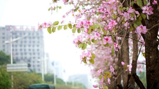 防城港紫荆花装扮城市街景