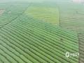 连日来,随着天气逐渐回暖,来宾市象州县妙皇乡的多处茶园新芽萌发,进入采摘期。茶农们抢抓时间开始采摘第一批早春茶。3月4日,在妙皇乡思高村委的古琵茶种植基地,漫山遍野的茶树错落有致,一行行茶树抽芽吐绿,生机盎然。不时可见的采茶工人们正身挎茶篓,手指在茶树间不停翻飞,将嫩绿新芽采摘下来,一派忙碌景象。(图/吴永才 文/苏庆红)