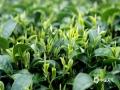 中国天气网广西站讯 连日来,随着天气逐渐回暖,来宾市象州县妙皇乡的多处茶园新芽萌发,进入采摘期。茶农们抢抓时间开始采摘第一批早春茶。3月4日,在妙皇乡思高村委的古琵茶种植基地,漫山遍野的茶树错落有致,一行行茶树抽芽吐绿,生机盎然。不时可见的采茶工人们正身挎茶篓,手指在茶树间不停翻飞,将嫩绿新芽采摘下来,一派忙碌景象。(图/吴永才 文/苏庆红)