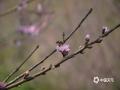 三月以来,随着天气的回暖,隆林乡村一株株桃花在春雨的滋润下竞相开放,给乡村的春天增添了绚丽的色彩。(图文/尹华军)
