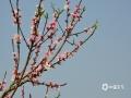 中国天气网广西站讯 三月以来,随着天气的回暖,隆林乡村一株株桃花在春雨的滋润下竞相开放,给乡村的春天增添了绚丽的色彩。(图文/尹华军)