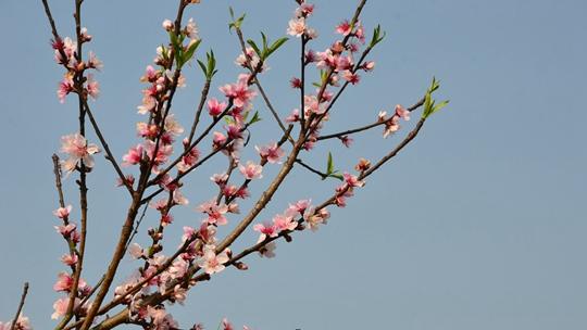 隆林回暖桃花朵朵开