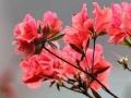 三江杜鹃花开春色满山