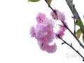 中国天气网广西站讯 四月中旬,广西河池阴雨绵绵、体感有些阴冷潮湿,但并不影响繁花满树,雨中赏花也别有一番风味。(图/黄韦波 文/黄妍曦)