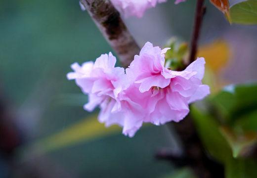 河池雨中赏花别有风味