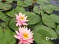 """中国天气网广西站讯 昨天(5日)是五一小长假最后一天,正值二十四节气中的立夏,桂林园博园内成片的睡莲也在这春夏之交的和风细雨中悄然绽放。在翠绿圆润的荷叶映照下,朵朵睡莲粉嫩洁净,于静谧中透着安详,一阵微醺的风儿吹来,轻颤着态若含笑。立夏之日,""""小长假""""已接近尾声,远来的游客纷纷返程,园博园里的一角也止住了喧嚣,只剩一池的淡然与池边的楼阁交相辉映。(图文/刘斌)"""