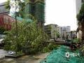 图为8日钟山县城区树木被连根吹断。(图/唐华)