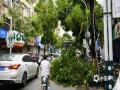 图为8日钟山县城区倒伏的树木影响市民出行。(图/唐华)