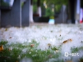 中国天气网广西站讯 5月中旬,位于贵港市新世纪广场上的木棉花果实逐步成熟,在太阳的光照下,成熟的果实忽然裂开,硬壳中飘出的花絮在轻风中飞舞,飘飘然触及行人的脸颊、行驶着的车玻璃……时而停留草地上,时而挂在树枝间,时而又堆积在道路旁,像要来一场盛大的谢幕,又像是在寻找灵魂的归宿。(图文/蒙小寒)
