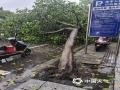 中国天气网广西站讯 6月3日傍晚,桂林遭雷电、大风等强对流天气袭击,平乐电闪雷鸣,闪电划破天空,灵川极大风速达到9级,路边的树木被大风刮倒砸伤车辆。图为全州大风将路边的大树吹倒。(图/蒋奇峰)