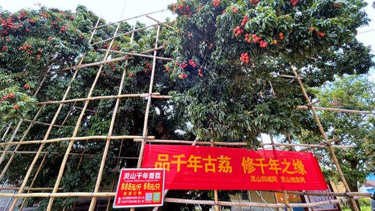 广西钦州千年古荔成熟