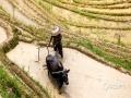 6月13日,广西龙脊迎来了一年一度的梳秧节,恰逢端午假期,雨后天晴的龙脊梯田景区游客如织,格外热闹,图为村民在田间犁田。(文/张雅昕 图/莫家勋)