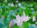 中国天气网广西站讯 又是一年夏日到来,河池映荷谷百亩荷花绽放,朵朵荷花把整个山谷点缀得粉嫩清新,微风吹拂,花香四溢。(文/黄妍曦 图/黄韦波)