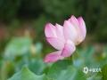 中国天气网广西站讯 又是一年夏日到来,河池映荷谷百亩荷花绽放,朵朵荷花把整个山谷点缀得粉嫩清新,微风吹拂,花香四溢。(文/黄妍曦 图/黄妍曦 黄韦波)