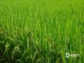 中国天气网广西站讯 盛夏时节,万物葱茏。7月15日,天气晴朗,在隆林各族自治县新州、天生桥、者浪等乡镇乡村广袤的田野生机勃勃,绿意盎然,绿油油的稻浪随风起伏,秆壮穗齐,沉甸甸的稻穗压弯了穗苗,随着微风摇摆,处处呈现一幅幅美轮美奂的盛夏田园丰收美景图。(图文/尹华军)