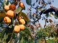中国天气网讯 近两天随着气候逐渐转凉,河北唐山遵化市耍峪村的磨盘柿子进入到收获的季节。在当地,红红的柿子挂满枝头,看起来十分诱人。种植户们也都在柿子树间忙碌的进行着采摘,田野间一排秋收的繁忙景象。(图/刘满仓)