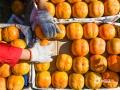 近两天随着气候逐渐转凉,河北唐山遵化市耍峪村的磨盘柿子进入到收获的季节。在当地,红红的柿子挂满枝头,看起来十分诱人。种植户们也都在柿子树间忙碌的进行着采摘,田野间一排秋收的繁忙景象。(图/刘满仓)