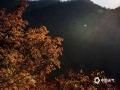 秋末冬初,河北承德兴隆山区的景色也到达了一年中最美的时候。满山或红、或黄的树叶,搭配着初冬的暖阳,显得那么的层次丰富,给人以视觉上美的享受。(图/李辉)
