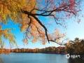 中国天气网讯 近日,河北承德已经进入到初冬时节。在避暑山庄内,园区树木的叶片已经全部变成了金黄色,映衬着阳光显得流金溢彩,十分漂亮。(图/穆瑞刚)