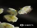 3月中旬以来,河北邯郸气温不断回升,尤其是最近几天当地的最高气温已经升至27、28℃。在邯郸市区的丛台公园,连翘、山桃、樱花等早春花卉已经争相开放。当地摄影爱好者采用微距拍摄的方式,记录下这些花儿笑傲枝头,迎接春天的独特美景。(图/周立新)