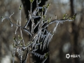 河北廊坊三河燕郊,受冷空氣影響,28日早晨,氣溫下降至零下3℃,當地公園的樹枝上形成冰掛。冰把枝頭的嫩芽包裹住,晶瑩剔透、美輪美奐,構成一道獨特的風景線。(圖/李輝)