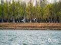 """這個清明假期,河北承德的天氣在陽光的""""保障""""下不斷回暖。尤其是在市區,白天的最高氣溫已經來到了20℃附近。在市區的武烈河,大片的杏花、桃花爭相開放,把兩岸妝點的春色濃郁。此外,日益溫暖的氣候,也吸引了不少南遷的水鳥來這里覓食、休息,更加增添了當地春的氣息。(圖/李輝)"""