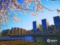"""中國天氣網訊 這個清明假期,河北承德的天氣在陽光的""""保障""""下不斷回暖。尤其是在市區,白天的最高氣溫已經來到了20℃附近。在市區的武烈河,大片的杏花、桃花爭相開放,把兩岸妝點的春色濃郁。此外,日益溫暖的氣候,也吸引了不少南遷的水鳥來這里覓食、休息,更加增添了當地春的氣息。(圖/李輝)"""