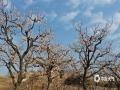 隨著天氣的日漸溫暖,近一段時間,河北唐山遵化市的杏花陸續開放。在娘娘莊鄉白道子村的杏樹果園內,大團的杏花笑傲枝頭,讓當地春的氣息更加濃郁。而為了確保有個好收成,當地果農也在抓緊給杏花人工授粉,不誤農時確保豐產豐收。(圖/劉滿倉)