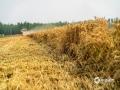 隨著天氣的持續晴朗,目前河北各地的夏收、夏種開展迅速。據了解,截止到14日,河北南部麥收已基本結束,中部收獲正在大面積展開。收獲進度已達到全省小麥種植面積的近七成。預計未來一周,河北天氣持續晴好,有利麥收及玉米等秋糧的播種。圖為廊坊三河燕郊南曹莊村麥收現場(圖/楊俊平 李輝)