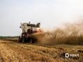 随着天气的持续晴朗,目前河北各地的夏收、夏种开展迅速。据了解,截止到14日,河北南部麦收已基本结束,中部收获正在大面积展开。收获进度已达到全省小麦种植面积的近七成。预计未来一周,河北天气持续晴好,有利麦收及玉米等秋粮的播种。图为廊坊三河燕郊南曹庄村麦收现场(图/杨俊平 李辉)