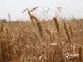 中國天氣網訊 隨著天氣的持續晴朗,目前河北各地的夏收、夏種開展迅速。據了解,截止到14日,河北南部麥收已基本結束,中部收獲正在大面積展開。收獲進度已達到全省小麥種植面積的近七成。預計未來一周,河北天氣持續晴好,有利麥收及玉米等秋糧的播種。圖為衡水市桃城區大柳林村麥收現場(圖/楊俊平 李輝)