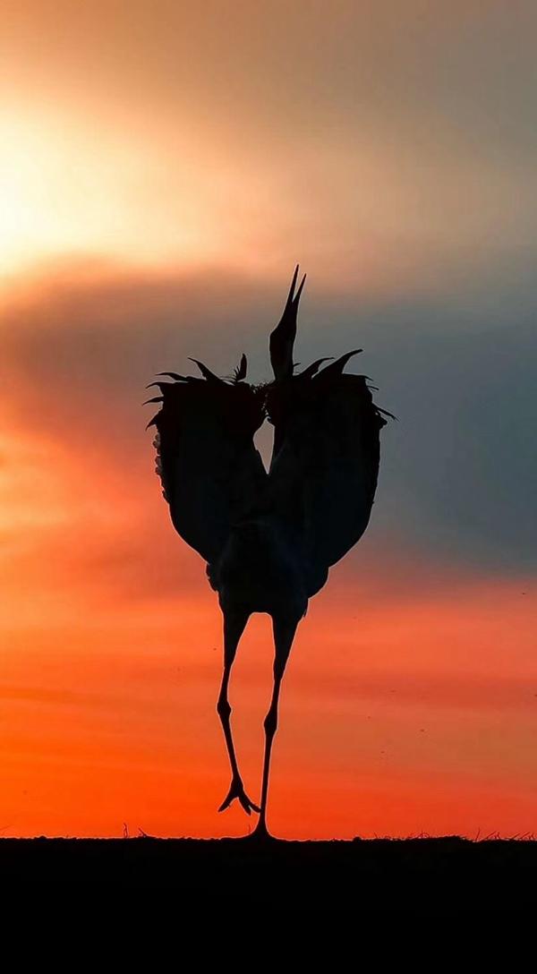 扎龙自然保护区丹顶鹤在晚霞下翩翩起舞