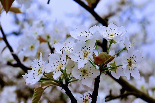 三月好风光  梨花开遍山