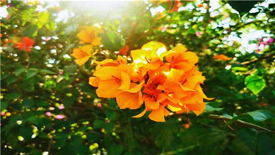 阳光花城攀枝花 四季常开三角梅