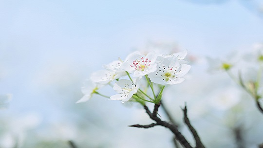 花中白月光 3月初成都新津梨花盛开