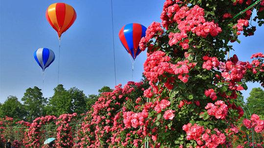 四川崇州 绚烂玫瑰 多样风情