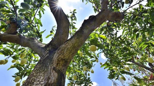 日照强烈 攀枝花芒果甜如蜜