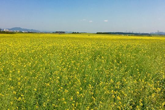 云南罗平万亩油菜花盛开正当时