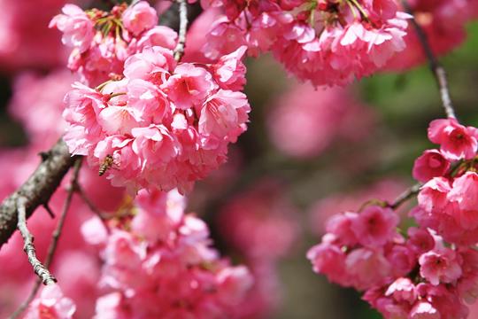 昆明郊野公园樱花绽放 周末赏花踏青好去处