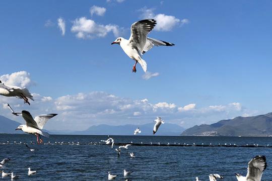 又是一年冬将至,海鸥再到风城来