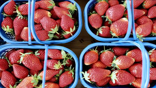 """云南富民迎来""""莓""""好时光 采摘草莓正当时"""