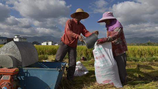"""云南巍山坝子""""黄皮谷""""稻米成熟 农民抓准时机抢收"""